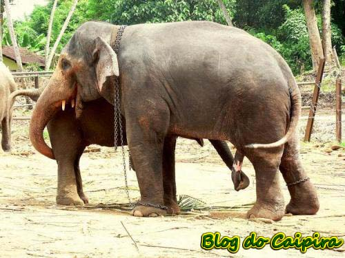 elefantes praticando um 69